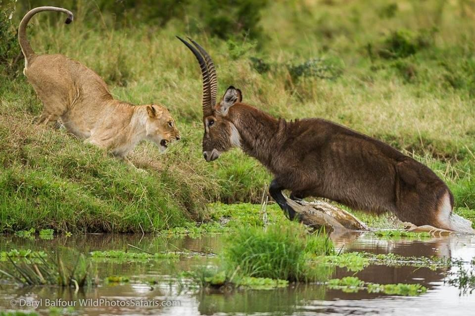 Daryl Balfour - An incredible encounter of a lion vs. waterbuck in the Mara.