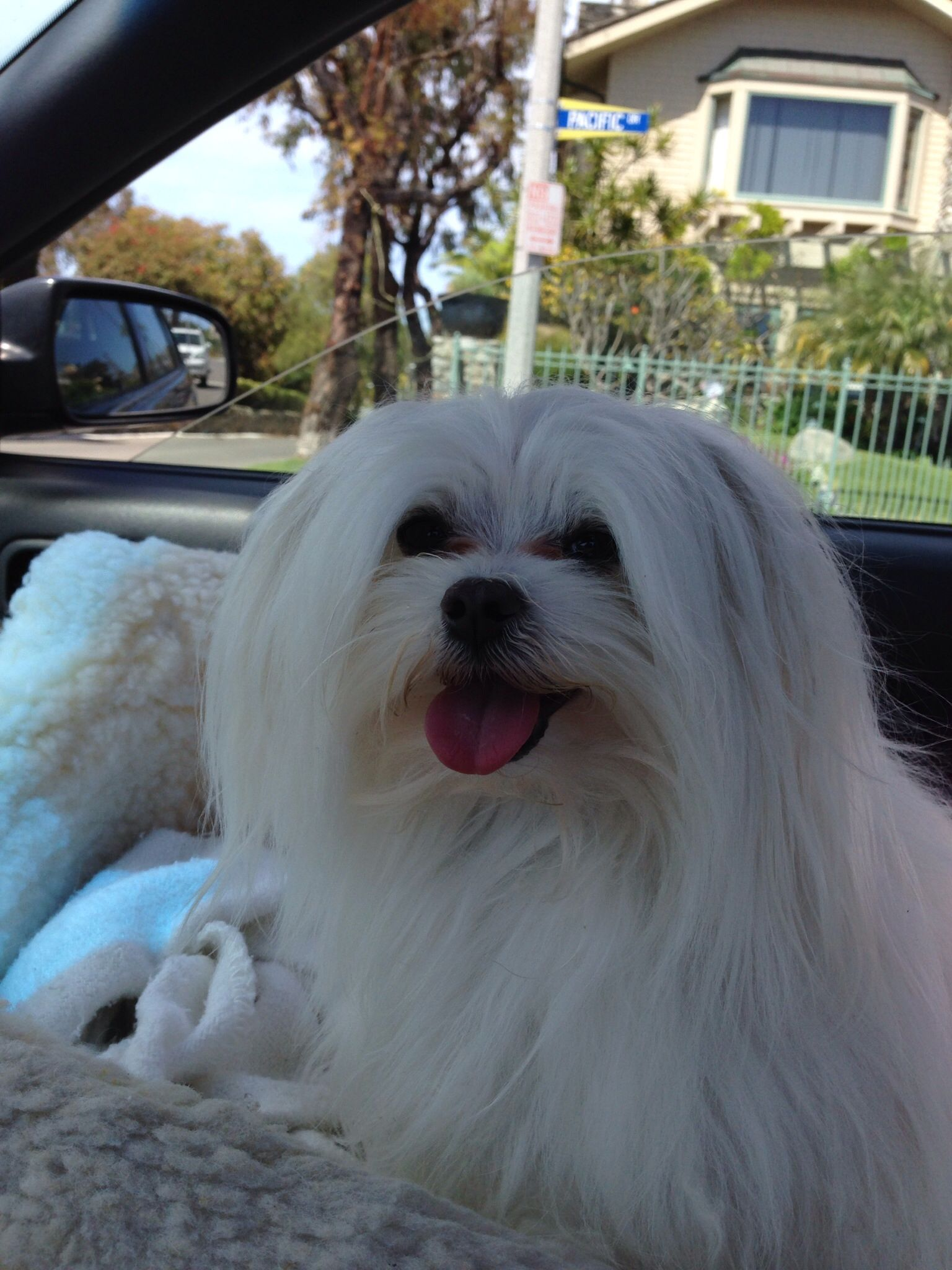 Alexander loves riding in the car. #maltese