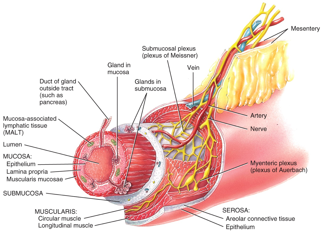 Layers Of Gi Tract Plexus Products Arteries Lymphatic