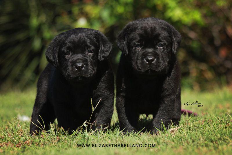 Texas Labrador Puppies Texas Labrador Retriever Puppies Texas Lab Pups Lab Puppies Puppies Labrador Retriever Puppies