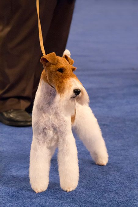 Sky, The Wire-haired Fox Terrier Wins Best in Show at Westminister Tonight. 2/11/2014. (Google Search)