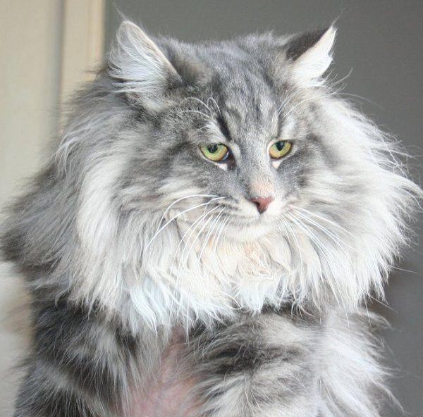 Blue Silver Tabby Norwegian Forest Cat Norwegian Forest Cat