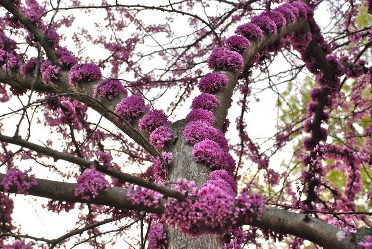 American red bud cercis canadensis plants pinterest spring american redbud tree this spring flowering tree grows in zones the most unusual thing about it is the way flowers grow directly on the trunk mightylinksfo
