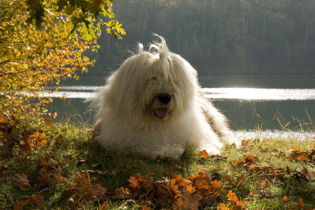 5db84d53f5d boy Old English Sheepdog