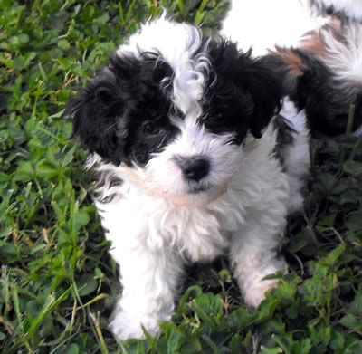 Texas Designer Puppy Shihztu Poodle Bichon Mix Shichon And Teddy