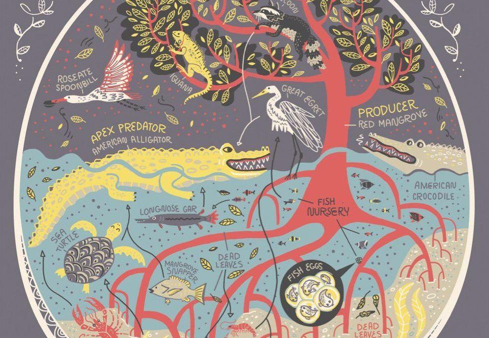 Floridas mangrove swamp ecosystem illustrated