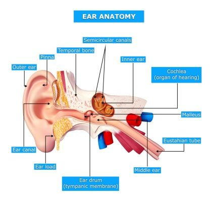 Eustachian tube dysfunction in adults causes and natural treatments eustachian tube dysfunction in adults causes and natural treatments middle ear and natural treatments ccuart Choice Image