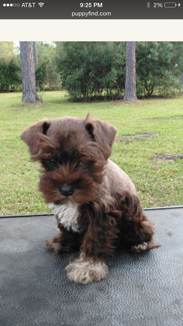 The New Baby A Liver And White Miniature Schnauzer Miniature Schnauzer Schnauzer Puppy Schnauzer
