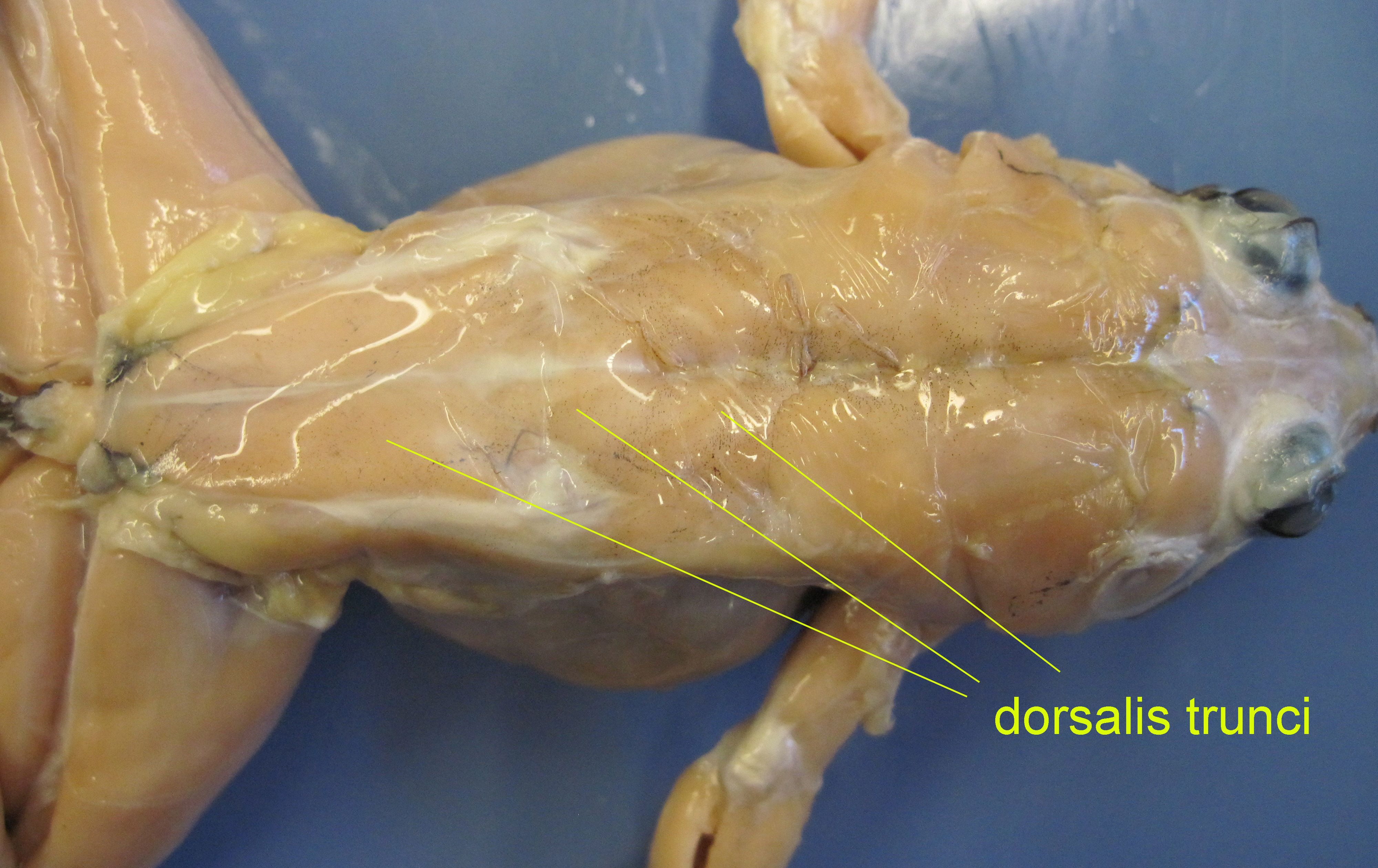 Frog Muscle Anatomy Untitled Document | Dryad | Pinterest | Muscle ...