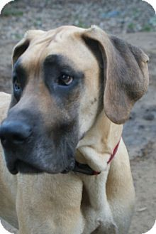 Pin By Saphoona Duste On Adopt Me Pet Adoption Great Danes For