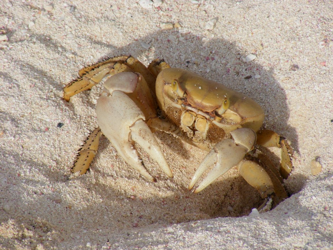 White Sand Crab ... click to see full size! | Got Crabs ...