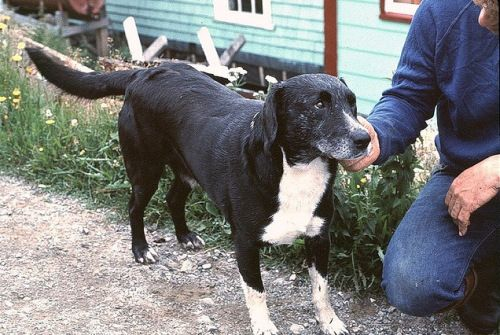 St John S Water Dog Grand Bruit Newfoundland Late 1970 S With