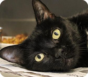 Westampton, NJ - Domestic Shorthair. Meet C-65345 Diamond, a cat for adoption. http://www.adoptapet.com/pet/13417763-westampton-new-jersey-cat
