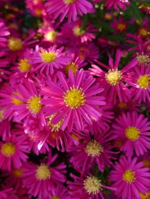 27 perennial aster new england has a new botanincal name flowers 27 perennial aster new england has a new botanincal name mightylinksfo