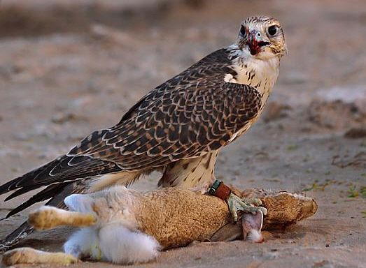 صقور الصيد صيد الارانب صيد الارانب بالصور صور مقناص صور صقور قنص Falcon Hunting Peregrine Falcon Hunting