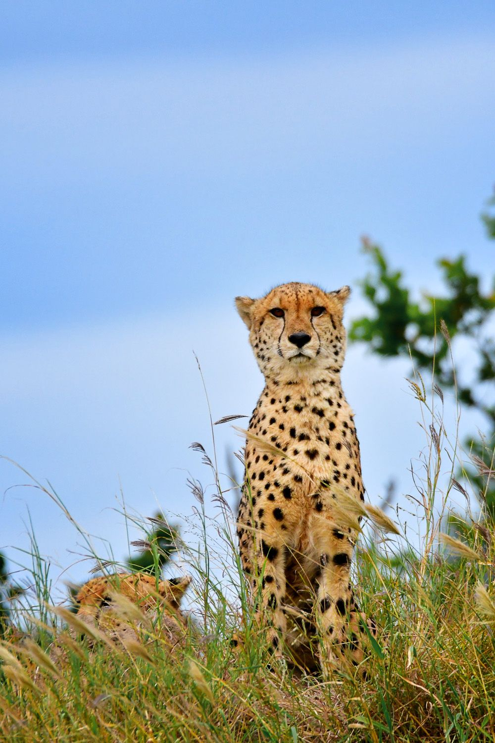 Cheetahs Of The Kruger National Park Are Not Easy To Find Cheetahs Kruger National Park Wild Dogs