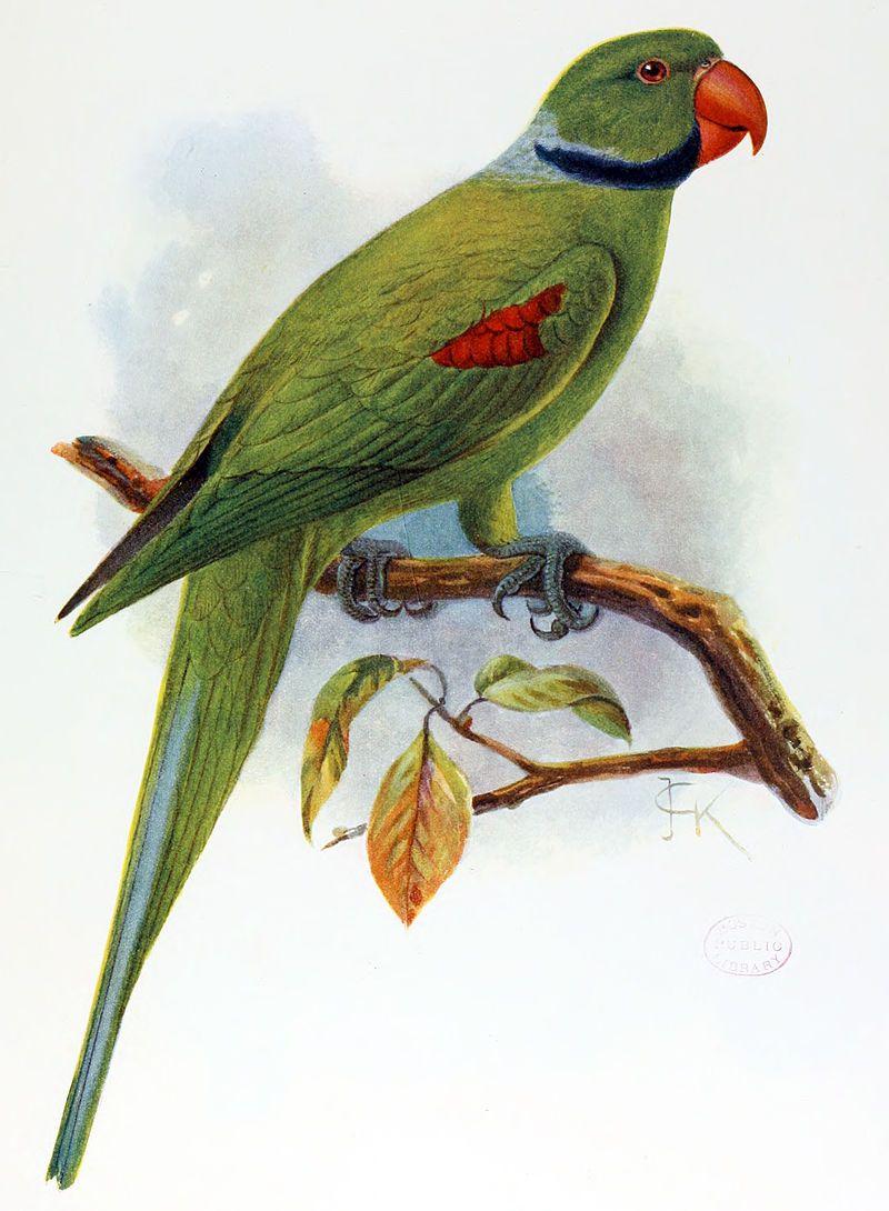 seychelles parakeet psittacula wardi list of recently extinct