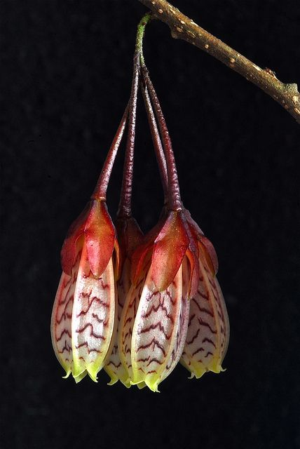 Agapetes [Family: Ericaceae] - Flickr - Photo Sharing!