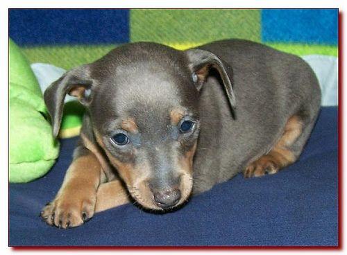 Toy King Blue Female Miniature Pinscher Puppy Breeder 11 Puppies