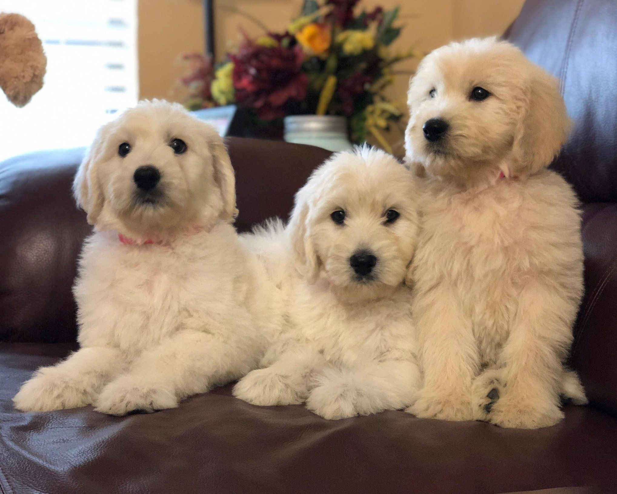 English F1 Goldendoodles from Moss Creek Goldendoodles