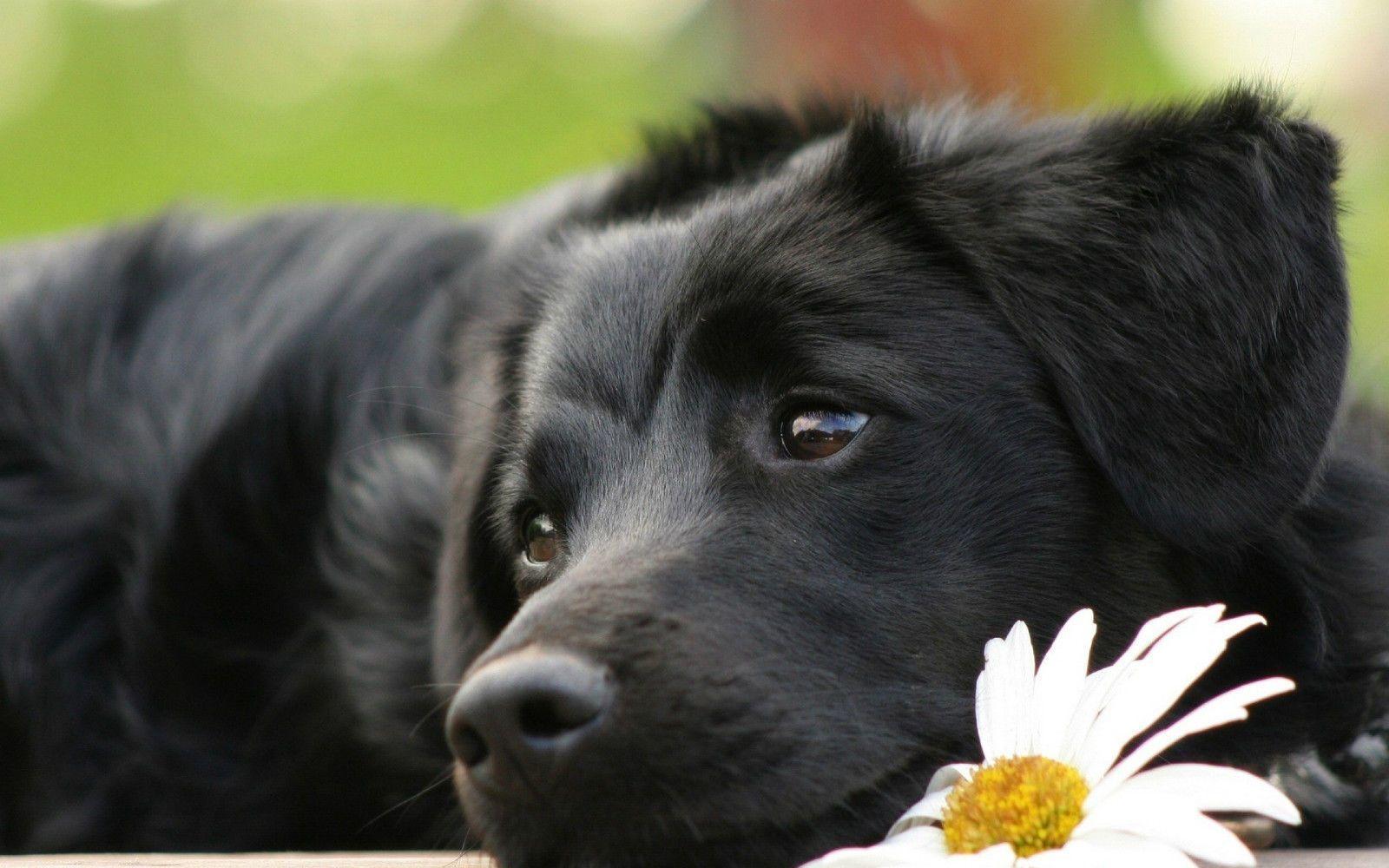 Framed Print Resting Black Labrador Puppy Picture Poster Dog