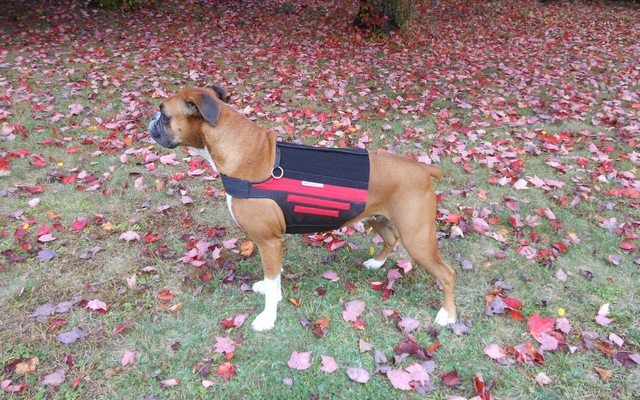 Review Wiggleless Back Brace for Dogs Dog braces, Dogs