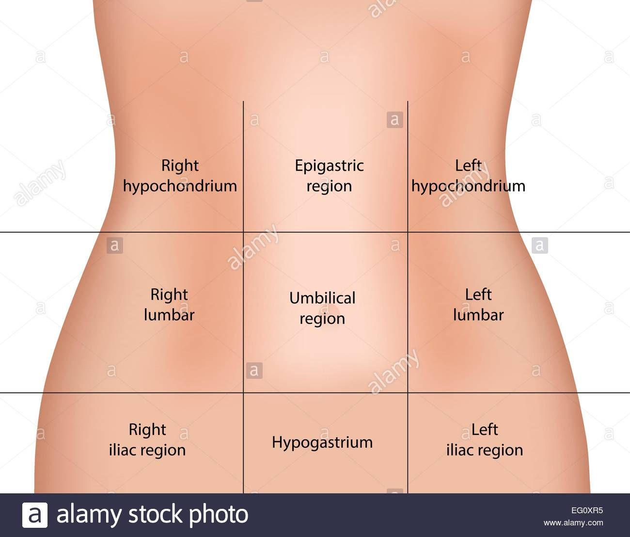 Download This Stock Vector Abdominal Regions Eg0xr5 From Alamy S Library Of Millions Of High Resolutio In 2020 Human Anatomy And Physiology Abdominal Medicine Notes