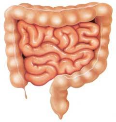 Intestino Grueso Y Delgado Intestinos Intestino Grueso Aparato Digestivo Dibujo
