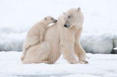 oso polar con el cachorro Fotos libres de derechos