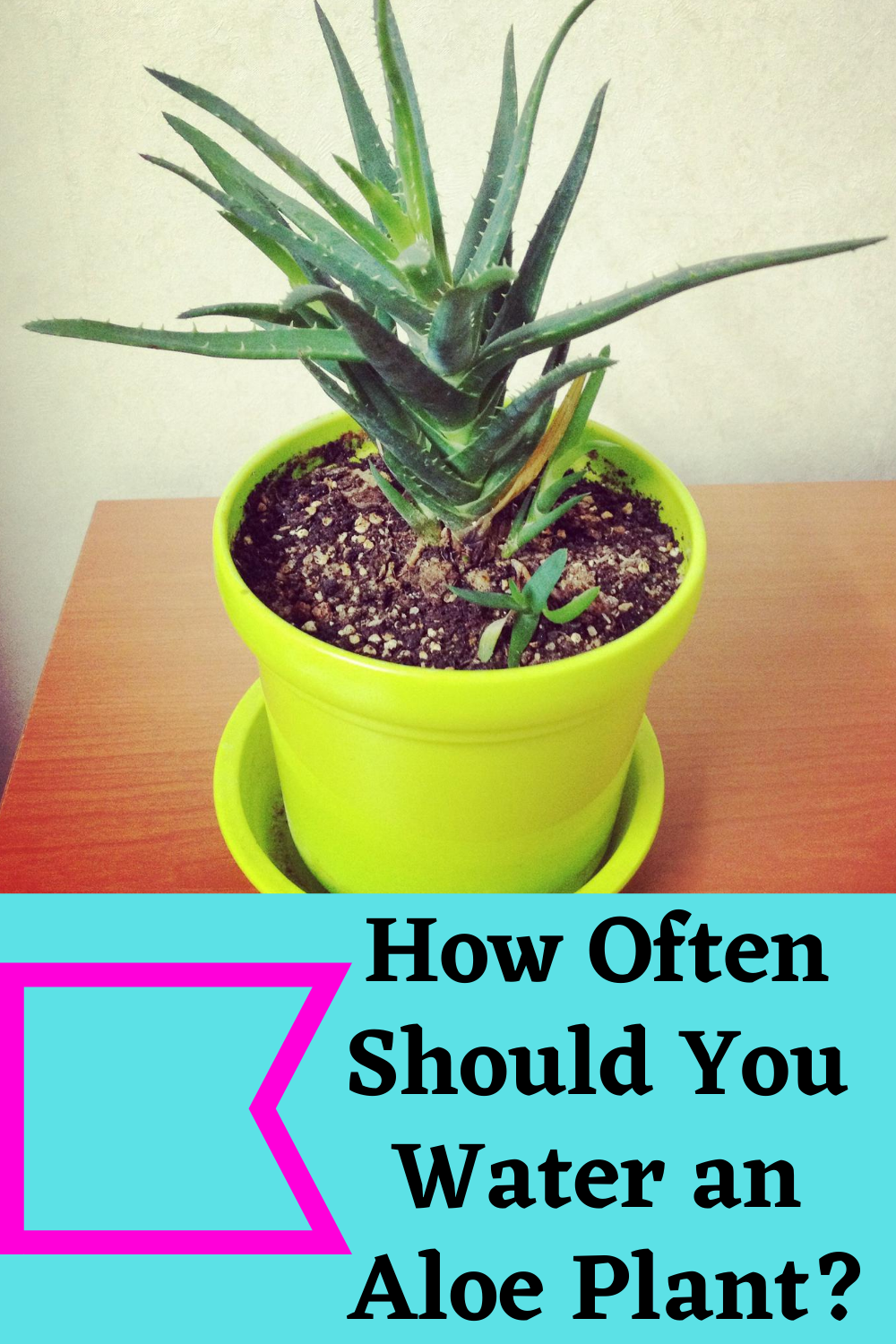 How Often Should You Water An Aloe Plant Aloe Plant Aloe Vera Plant Aloe