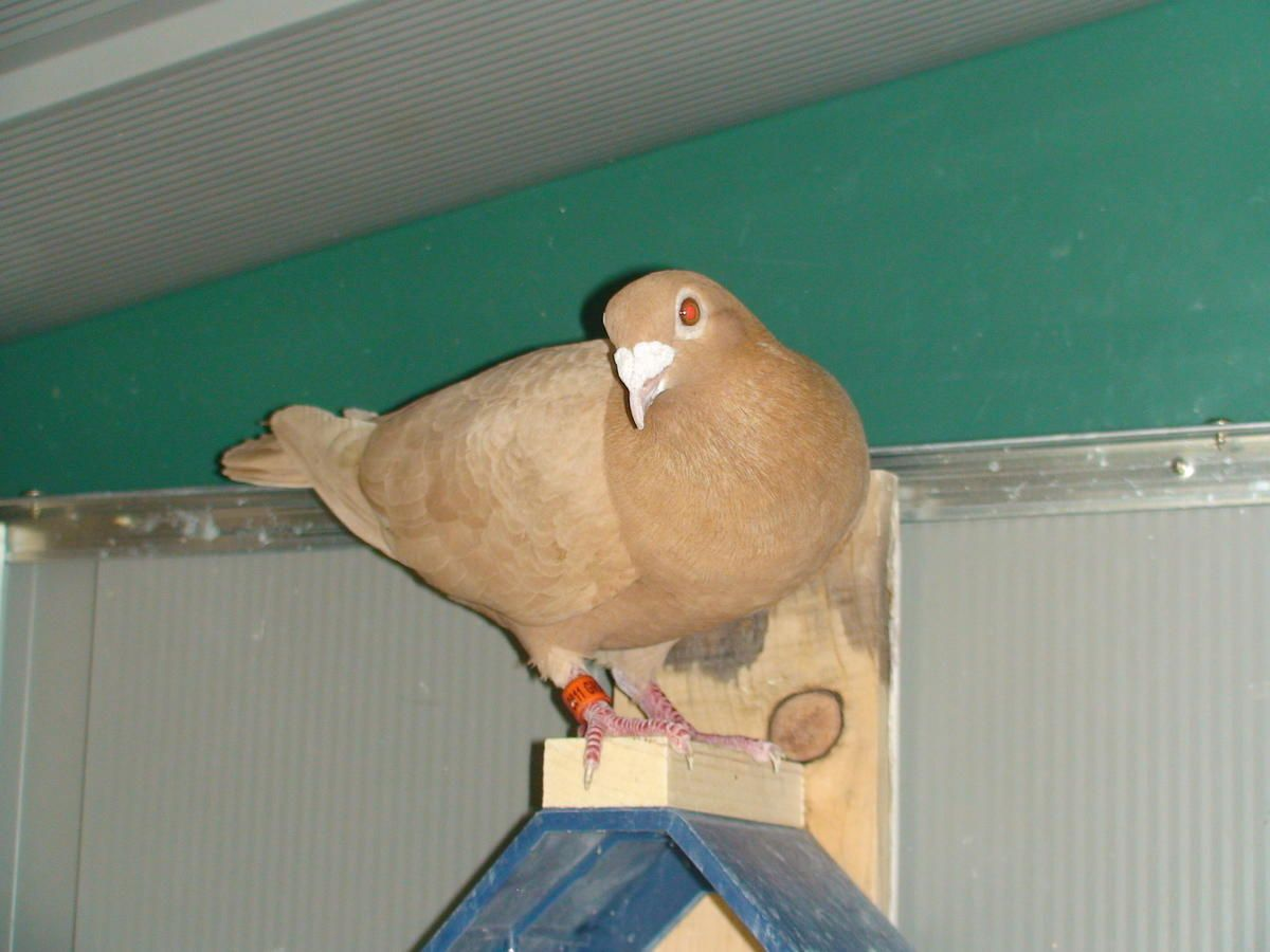 Recessive Red And Yellow Racing Homing Pigeons For Sale In