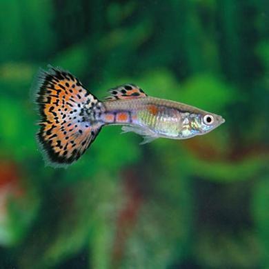 Multi Color Guppy Male Guppy Fish Guppy Watercolor Fish
