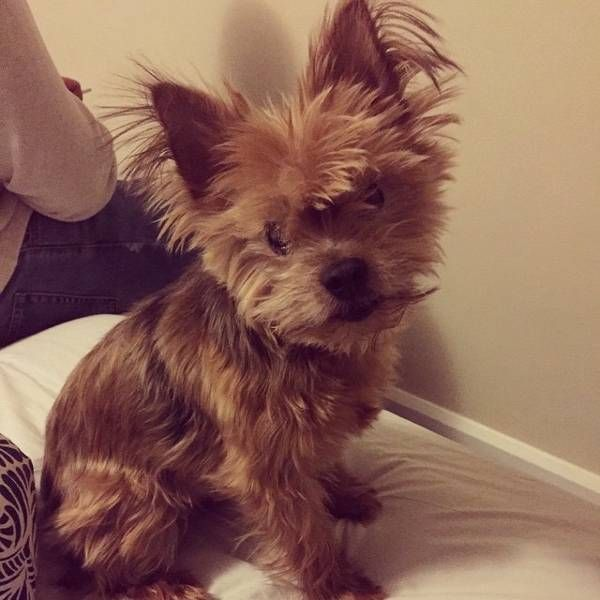 Lost Dog - Yorkshire Terrier in ALBANY, NY ShareFacebook Twitter Google+ Email     	 Pet Name:	Polly   (ID# 123881) Gender:	Female Breed:	Yorkshire Terrier Color:	Brown Pet Size:	Small (10-19lbs) Pet Age:	7 Date Lost:	02/23/2016 Zip Code:	12203 (ALBANY, NY) See All Lost Dogs In ALBANY, NY