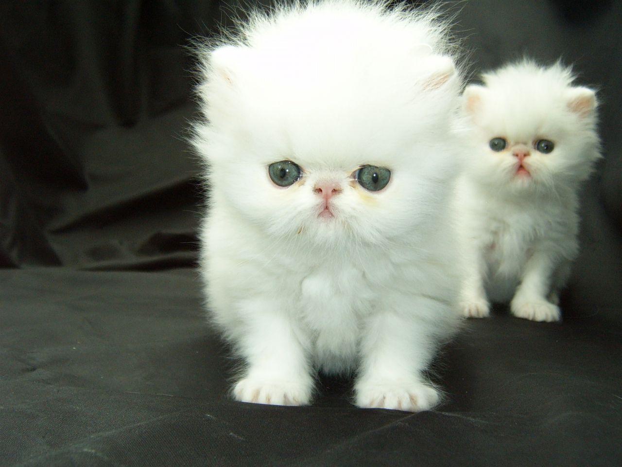 White Persian Kitten Persian Kittens White Persian Kittens