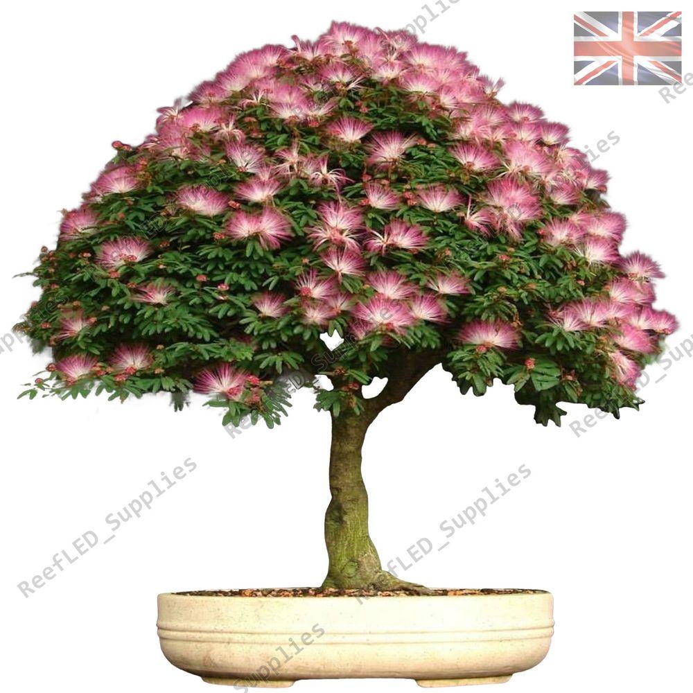 Details About Rare Albizia Julibrissin Bonsai Tree Mimosa Silk 10 Viable Seeds Uk Seller Tree Seeds Bonsai Pink Trees