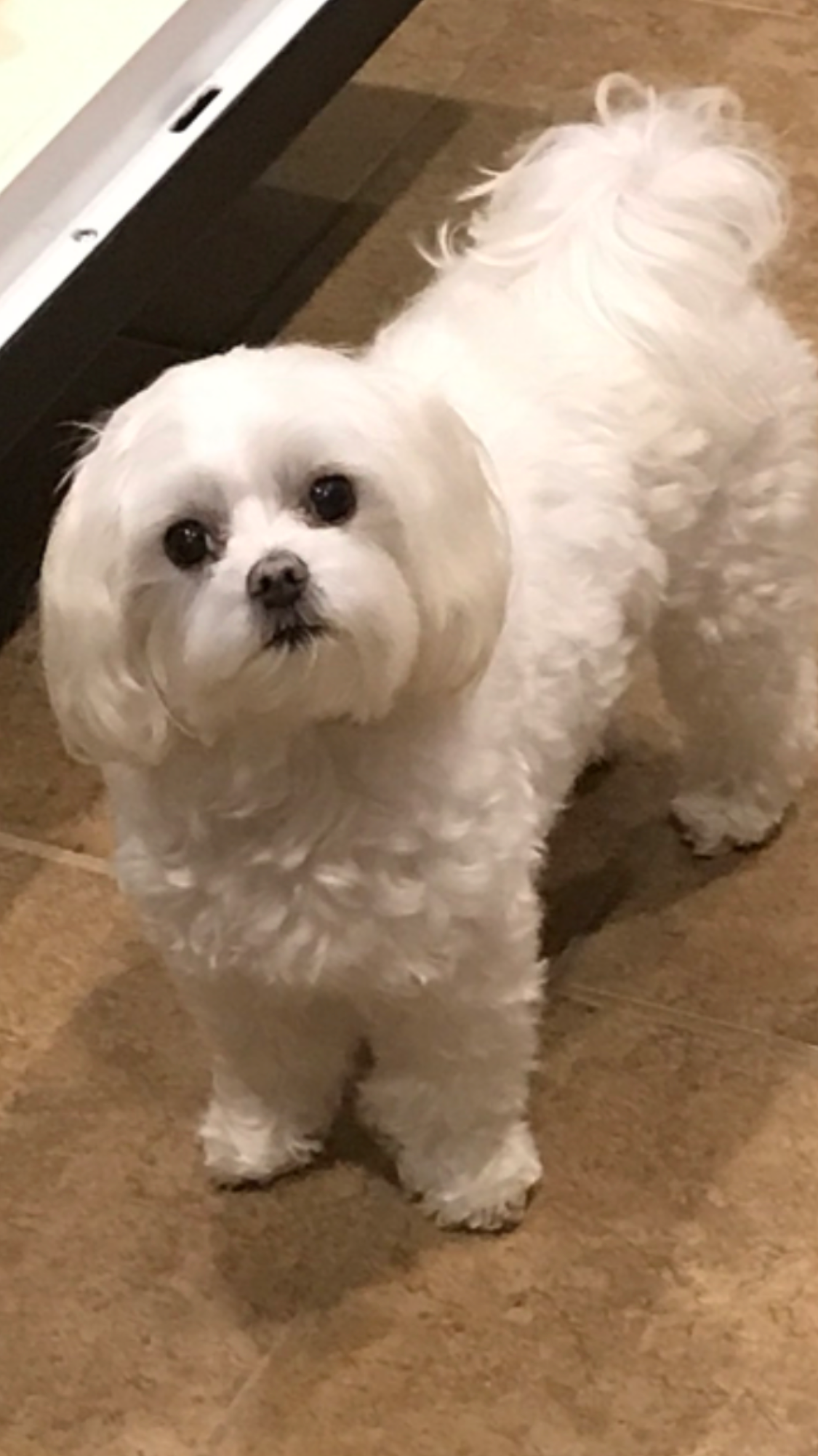 Sweet Baby Maltese Haircuts Pinterest Maltese Dog And Animal