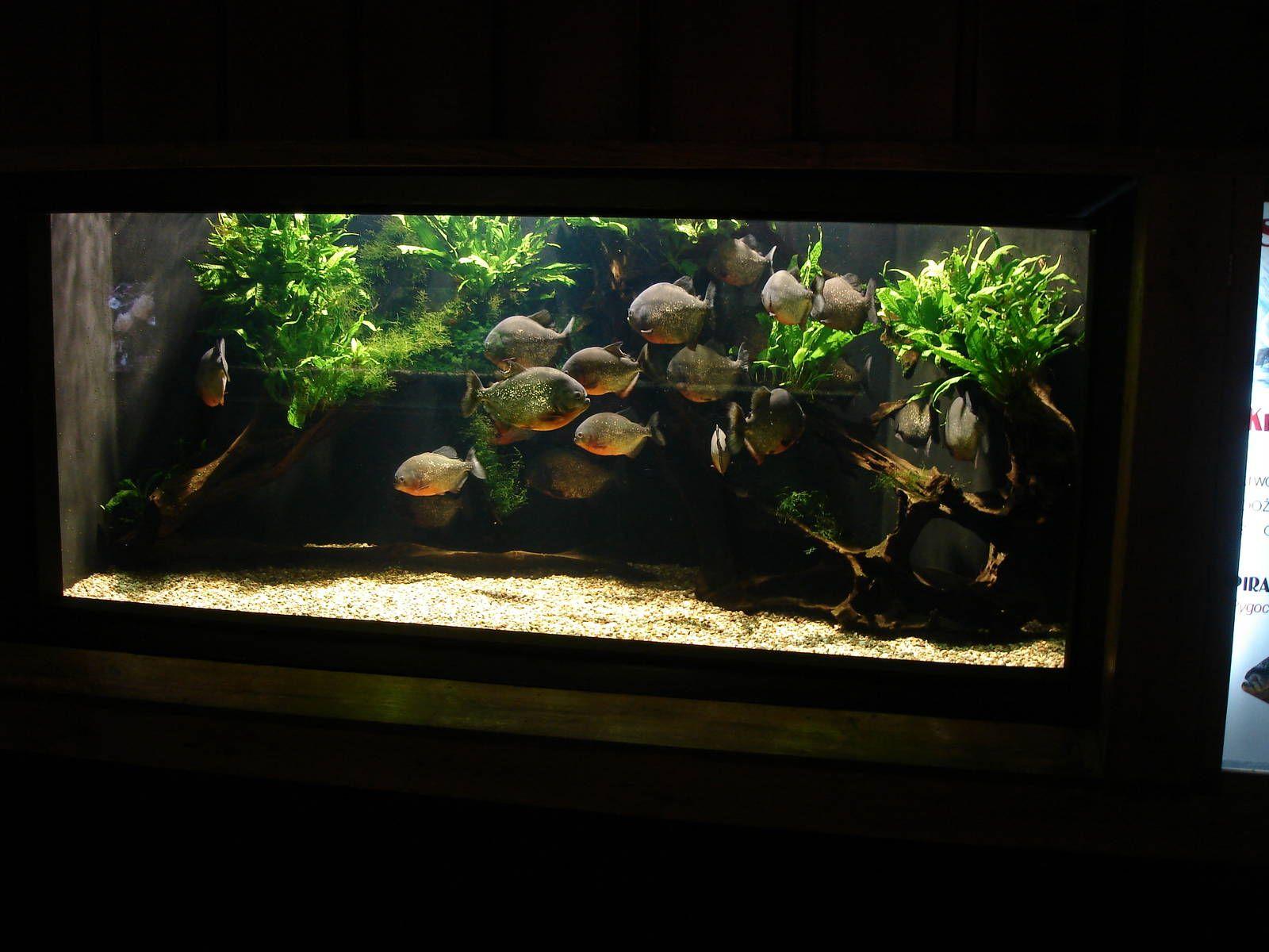 Freshwater aquarium fish piranha -  3