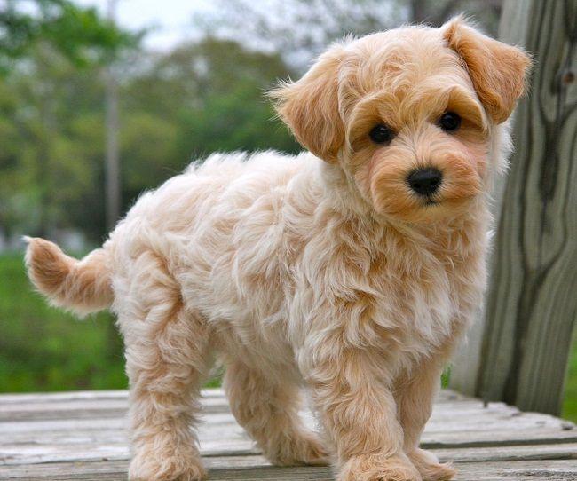 apricot maltipoo puppies Cute dog mixes, Maltipoo puppy