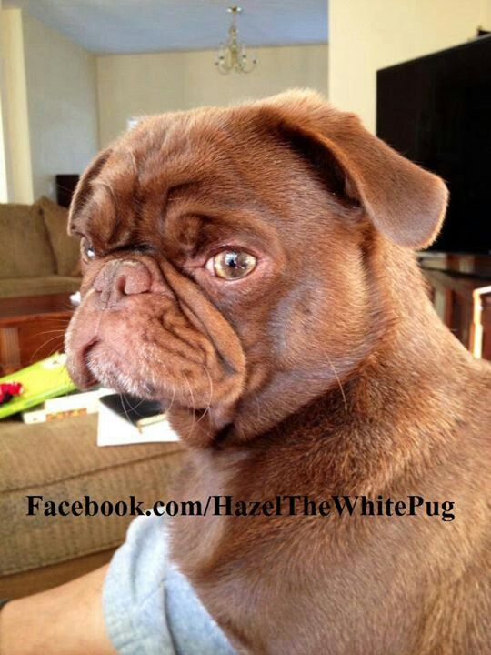 Beautiful Brown Pug First One I Ve Ever Seen Pugs Funny Cute