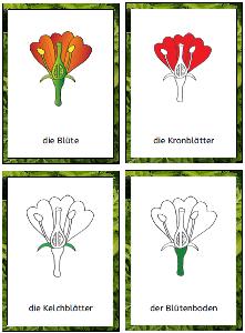 Pflanzenteile und ihre Funktionen | Lehrmittel Perlen | Pinterest ...