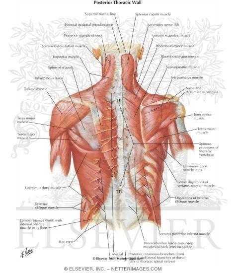 Posterior Thoracic Anatomy Diagram Diy Enthusiasts Wiring Diagrams