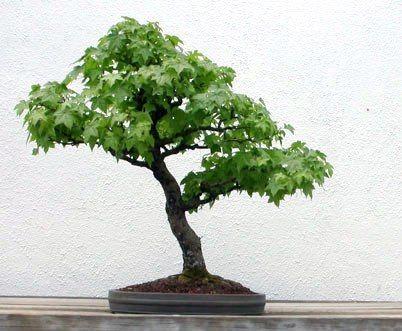Liquidambar Styraciflua Bonsai Tree Seeds American Sweetgum Redgum Bidorbuy Co Za Arboles Bonsai Horticultura Bonsai