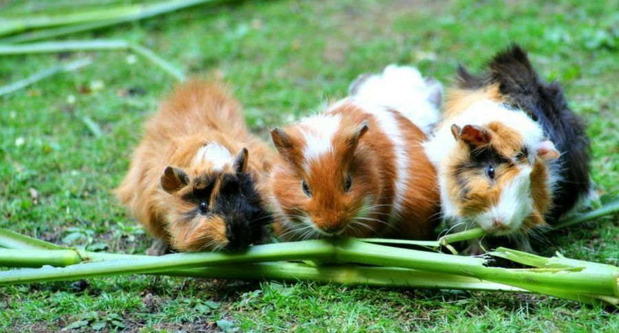 Did You Know That March Is Adopt A Guinea Pig Month? http://www ...