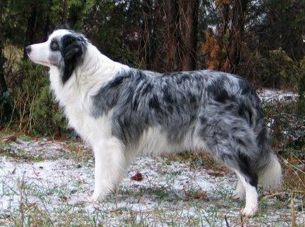 Blue Merle Border Collies Are So Beautiful I Am So Jealous Of