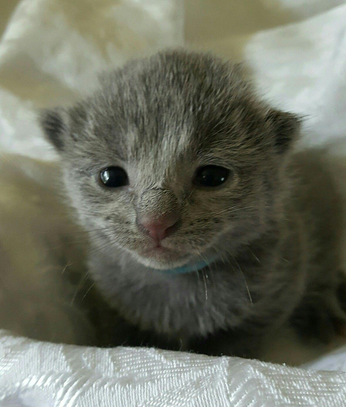 Little Bluebonnet Russian Blue kitten cats