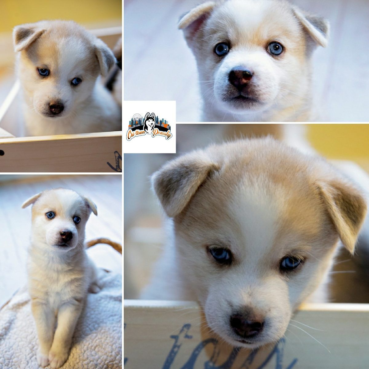 Cute Puppies For Sale Online At Vip Puppies We Make It Easy For