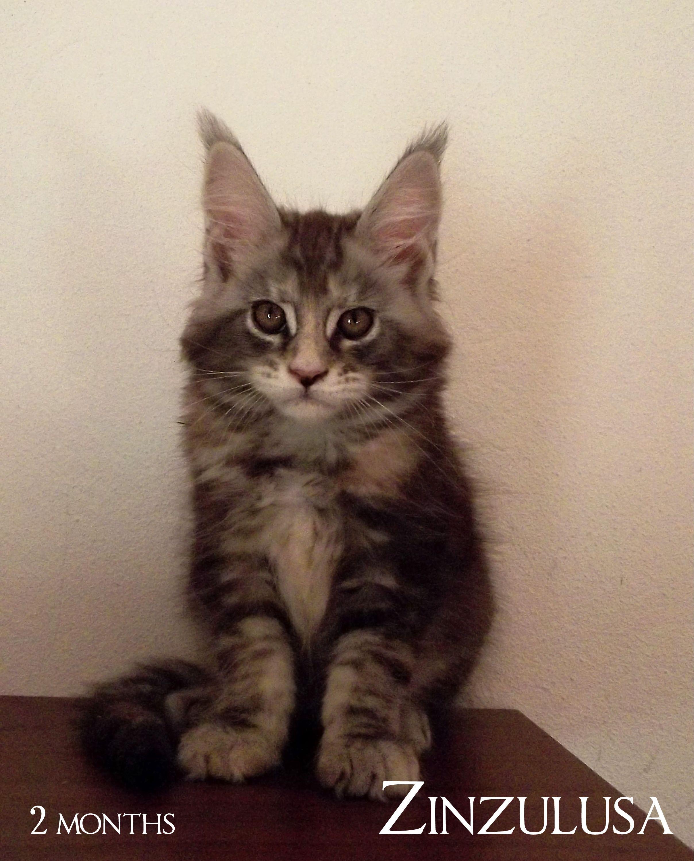 Maine Coon Kitten - 20th August 2014