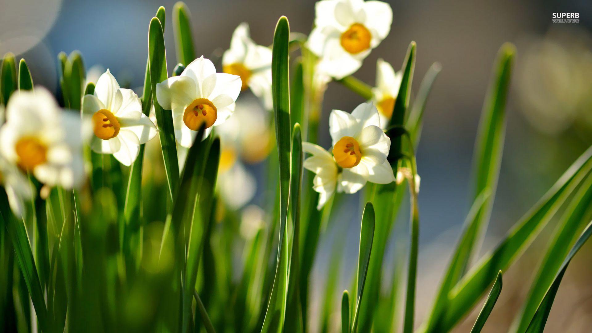 White daffodil flower background httpwhatstrendingonline white daffodil flower background httpwhatstrendingonlinewhite daffodil mightylinksfo
