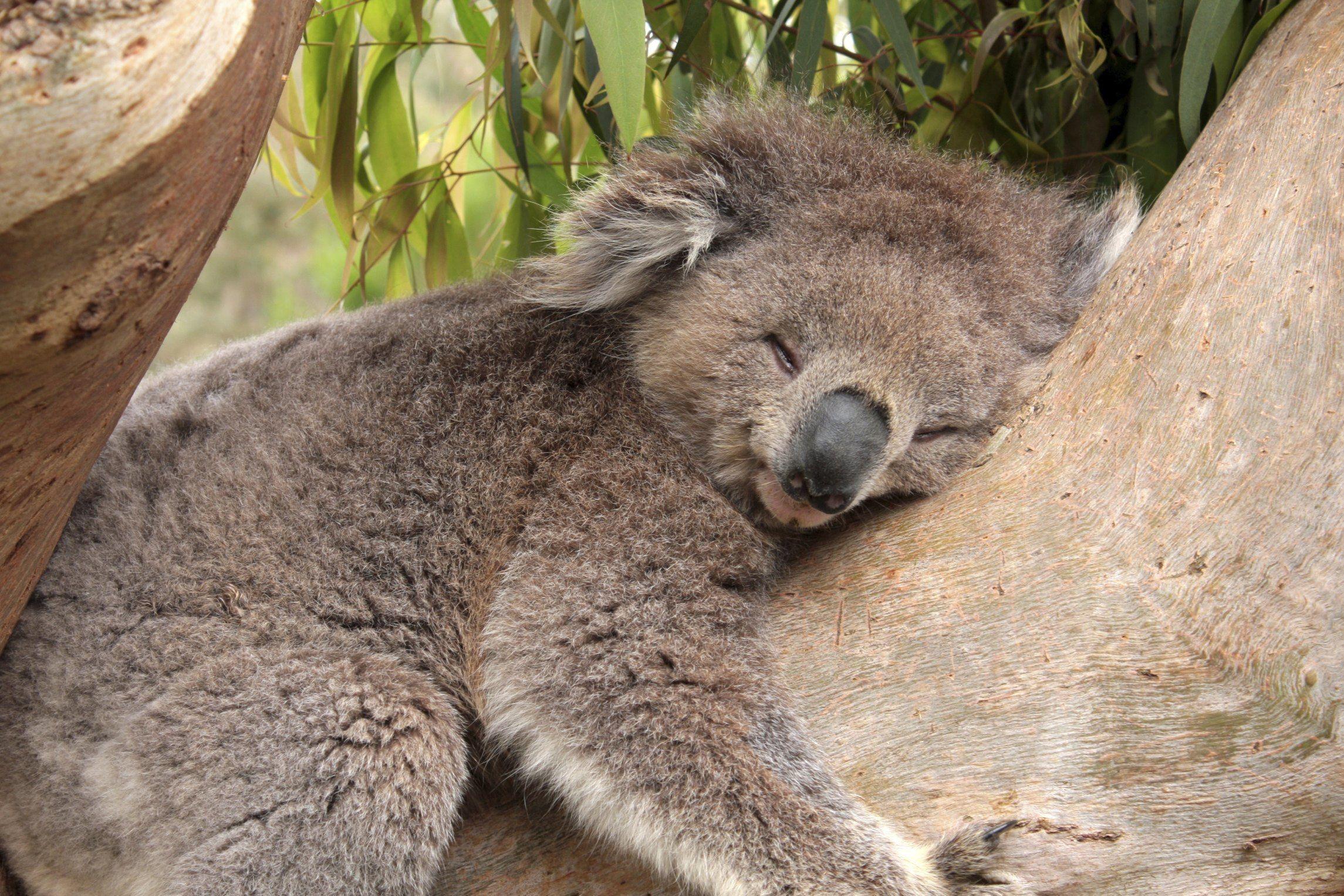 Fonds D Ecran Koala Tous Les Wallpapers Koala Bebe Koala