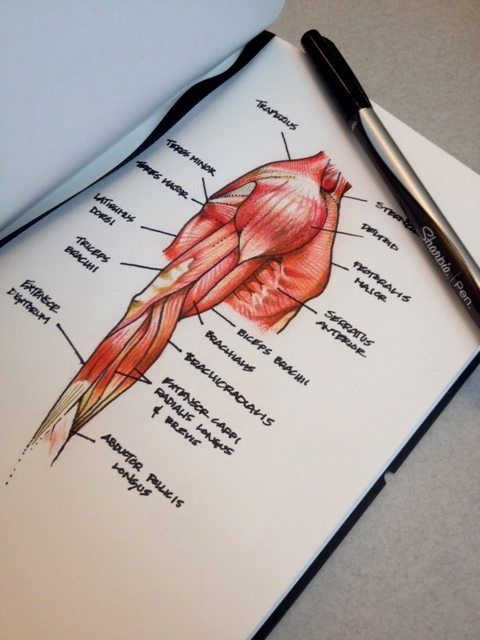 I love drawing out anatomical structures for review, and for stress relief #nursingstudents